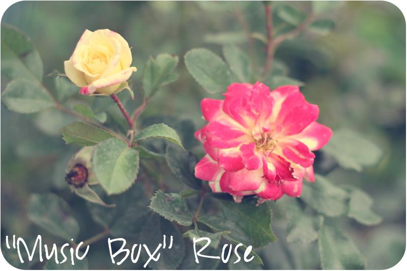 Music Box Shrub Rose
