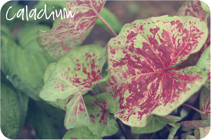 pink and green Caladium