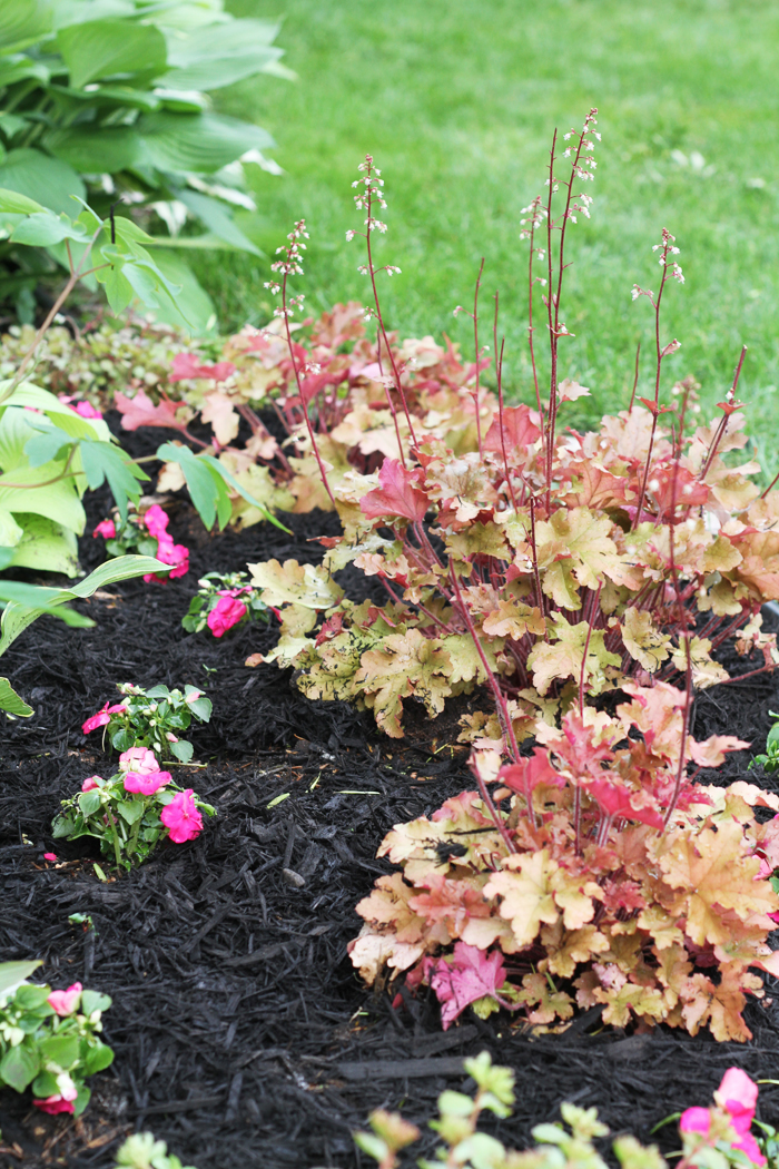 Coral Bells and Impatiens