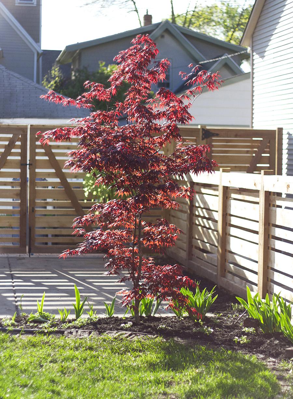 Japanese Bloodgood Maple