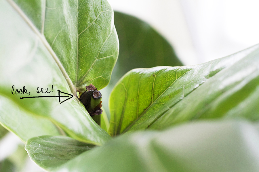 Pruning your Fiddle Leaf Fig - Deuce Cities Henhouse