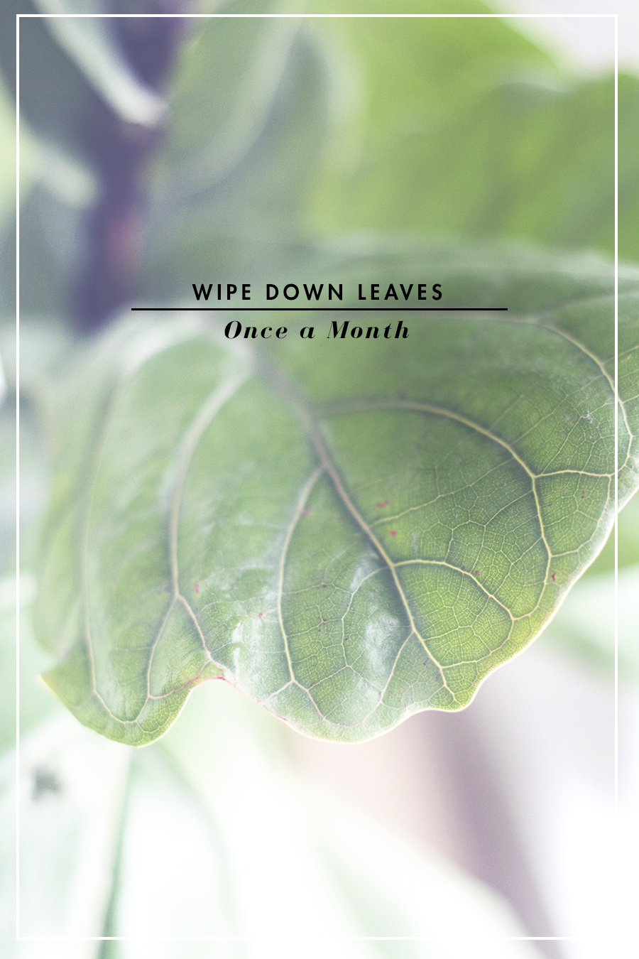 4 Steps to Not Kill a Fiddle Leaf Fig