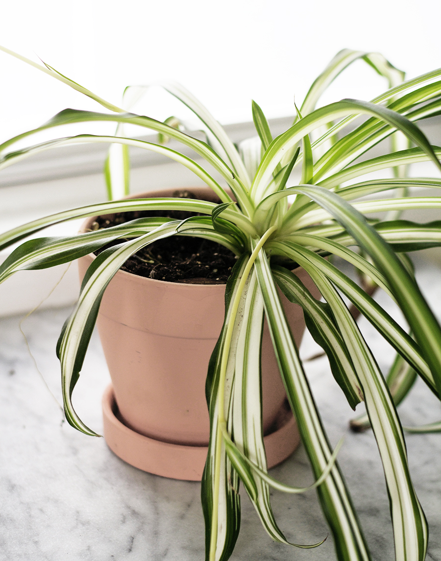 House Plants Spider Plant