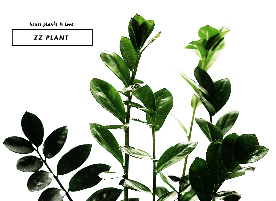 House Plants to Love : ZZ Plant