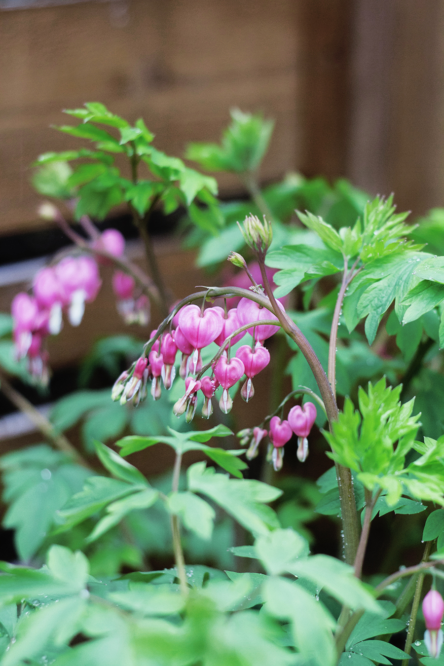 Growing Perennials : Bleeding Heart