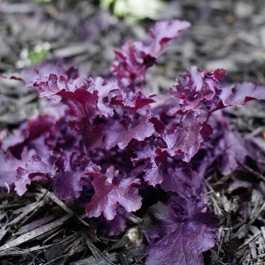 Growing Perennials : Bleeding Heart
