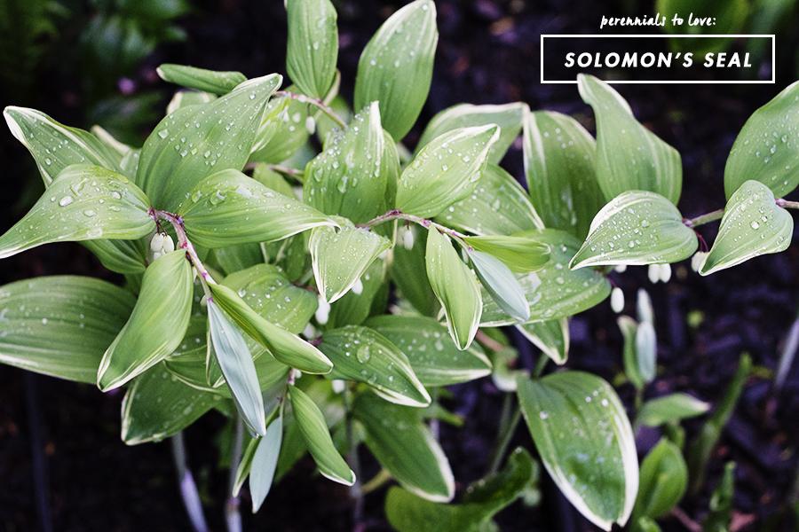 Growing Perennials Series: Solomon's Seal