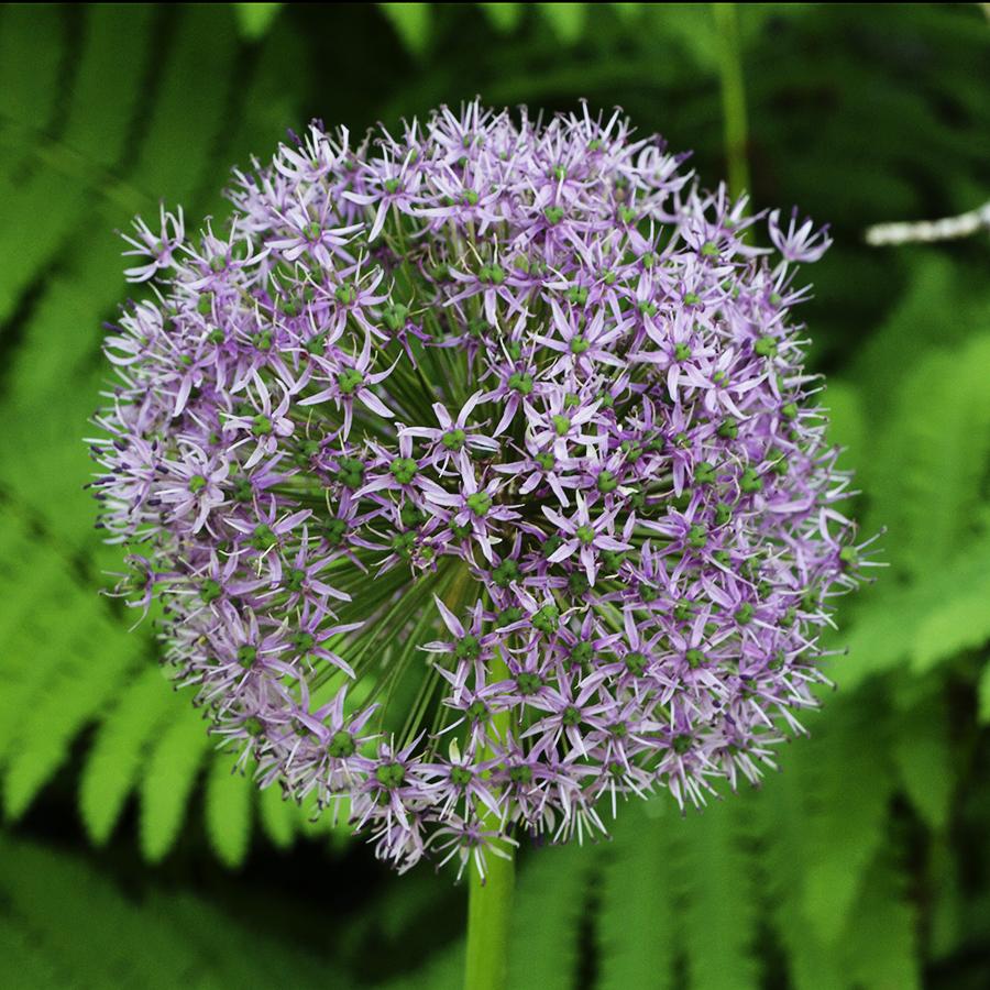 Growing Perennials Series: Allium