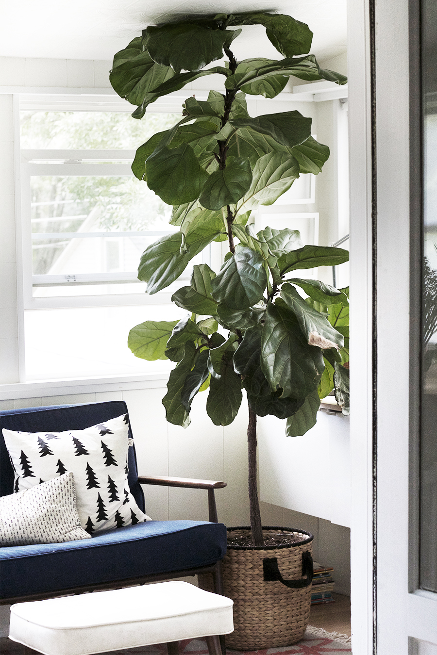Propagating New Fiddle Leaf Figs