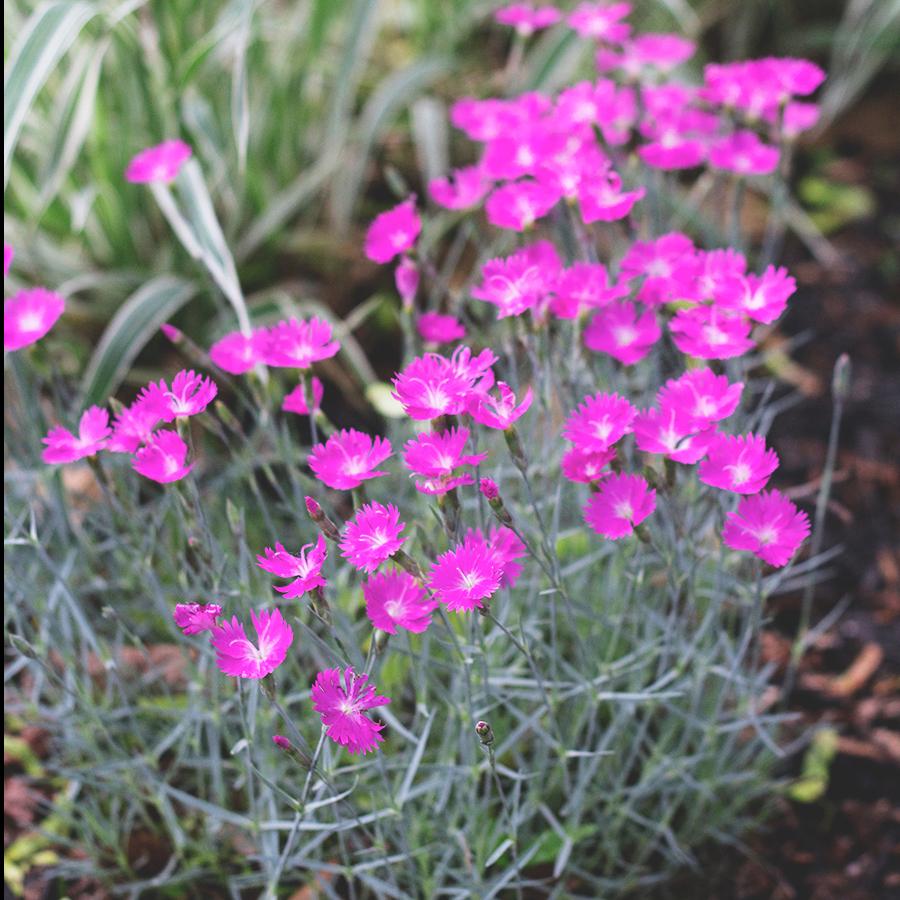 Plants for a sunny border garden | Deuce Cities Henhouse