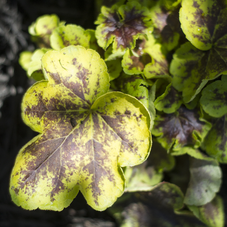 Adding Color to the Garden with Monrovia | Deuce Cities Henhouse