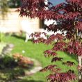 Our New Japanese Maple