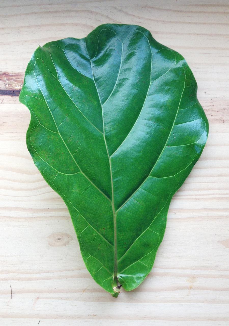 Fiddle Leaf Fig Pruning
