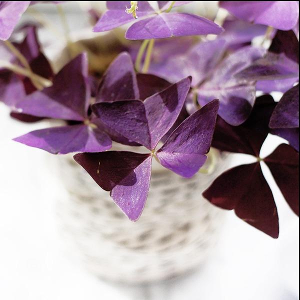 House Plants : Oxalis