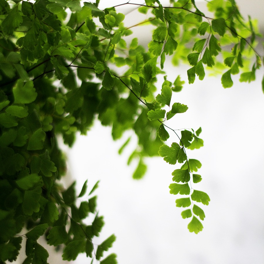 House Plants Maidenhair Fern Deuce Cities Henhouse