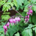 Perennials : Bleeding Heart