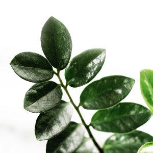 House Plants : ZZ Plant