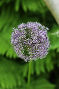 Perennials : Allium